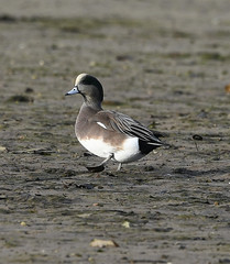 American Wigeon 1 (rdspalm) Tags: duck ducks wigeon americanwigeon birds birdwatching birding nikond850