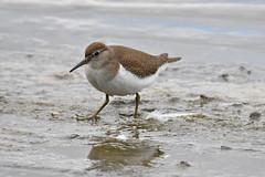 chevalier guignette / Actitis hypoleucos  19E_2786o (Bernard Fabbro) Tags: common sandpiper chevalier guignette oiseau bird