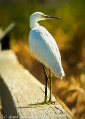 Great Egret (mesquite_street) Tags: birds coastalbirds portaransas spring texas wildlife