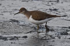 chevalier guignette / Actitis hypoleucos 19E_1277o (Bernard Fabbro) Tags: actitis hypoleucos common sandpiper chevalier guignette oiseau bird