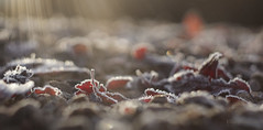 Sunshine and frost! (Elisafox22) Tags: elisafox22 sony nex7 helios442 helios lomo madeinussr 258 8blade vintagelens tt texturaltuesday red leaves japanesecherry gravel frost hoarfrost bokeh shadows sun aberdeenshire scotland outdoors morning elisaliddell©2019