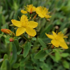 Hypericum undulatum Willd. - Wavy St. Johns-wort (Peter M Greenwood) Tags: hypericumundulatum wavystjohnswort hypericum undulatum wavy st johnswort