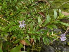 Lythrum hyssopifolia L. (Peter M Greenwood) Tags: lythrumhyssopifolia lythrum hyssopifolia