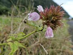 Cedronella canariensis (L.) Webb & Berthel. (Peter M Greenwood) Tags: cedronellacanariensis cedronella canariensis