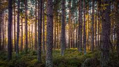 Tore Woods (prajpix) Tags: rosshire blackisle highlands scotland wood woods woodland forest pine pines tree trees trunks gold golden light shadows sunset sundown vertical landscape ambience warm