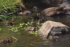 Pacific Black Duck family (Luke6876) Tags: pacificblackduck duck ducklings bird animal wildlife australianwildlife nature