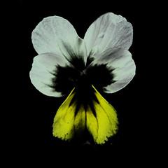 Viola spec. (flowerplant) Tags: viola veilchen flower blume blüte staude