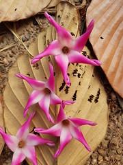 Dipterocarpus obtusifolius Teijsm. Ex Miq. Dipterocarpaceae-ยางเหียง 3 (SierraSunrise) Tags: thailand isaan esarn phonphisai nongkhai plants flowers trees pink white dipterocarpaceae dipterocarp