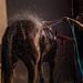 Junger Mann wäscht ein Pferd