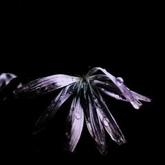 Lactuca perennis L. (flowerplant) Tags: staude blüte blume flower lattich asteraceae blau blauer lactuca