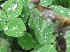 IMG_8834 (jesust793) Tags: flores flowers gotas droops agua water lluvia rain