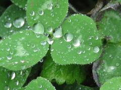 IMG_8844 (jesust793) Tags: flores flowers gotas droops agua water lluvia rain