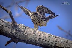 Merlin Dancing (dhfore) Tags: merlin falcocolumbarius falcon 2019 nature birds connecticut ct