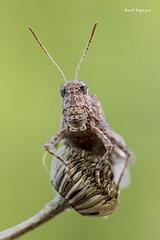 Saltamontes (Raul Espino) Tags: saltamontes macro macrofotografia sevilla insectos canon canon6dmarkii canon100mml grasshopper naturaleza