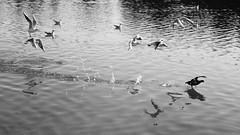 586201911aMILANO_022 (GIALLO1963) Tags: fugitive runningaway citypark fuggitivo escape gabbiani seagull folaga coot lipu birds parconord lombardy italy europe milano canong1xmarkiii