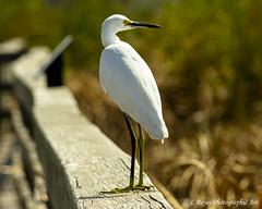 Great Egret (mesquite_street) Tags: birds coastalbirds fall portaransas texas wildlife
