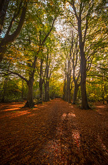 "the great avenue of trees and autumn red carpet of leaves draws you deeper into Bois de Breuil. Near Honfleur, Calvados, Normandie (Normandy), France (grumpybaldprof) Tags: ""canon70d"" ""sigma1020mmf456dchsm"" ""wideangle"" ultrawide ""fineart"" ethereal striking artistic interpretation impressionist stylistic style contrast shadow bright dark black white illuminated mood calm peaceful tranquil restful colour colours colourful landscape scenery vista autumn fall autumncolours vanishingpoint verticalpanorama ""boisdubreuil"" ""forestofbreuil"" honfleur normandy normandie calvados france vasouy penndepie conservation ""conservatoiredulittoral"" rhododendrons ""coastalconservancy"" bois forest trees deciduous coniferous wood woods coastline ""dukesofnormandy"" french kings ""philippeauguste"" breuil wildlife wildboar ""pinemarten"" ""redfox"" deer ""forestwalk"" branches leaves shapes patterns path walk track"