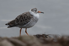 Ruff (Tim Melling) Tags: calidris philomachus pugnax martin mere lancashire timmelling winter plumage male