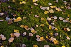 Foliage (Stefano Rugolo) Tags: stefanorugolo pentax k5 pentaxk5 smcpentaxm50mmf17 kmount foliage autumn leaves sweden