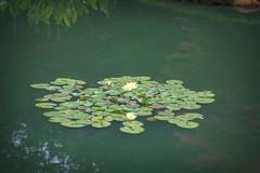 Water Lilies at Gibbs Gardens (randyherring) Tags: gibbsgardens ballground ga cherokeecounty nature beauty