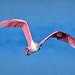 Roseate spoonbill in flight at J.N.