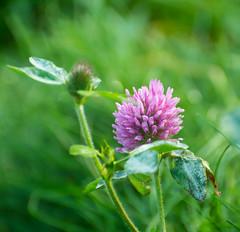 Clover Season. (Omygodtom) Tags: nature natural macro clover pink scene nikon70300mmvrlens field meadow d7100 bokeh dof perspective