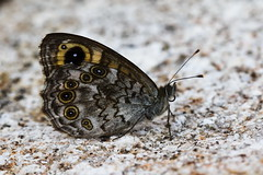 Lasiommata maera (JoseDelgar) Tags: insecto mariposa lasiommatamaera 422962198542658 josedelgar alittlebeauty specanimal specanimalphotooftheday coth coth5