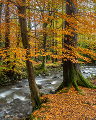 Living on the edge (Donard850) Tags: northernireland countydown tollymoreforestpark river water trees autumn fall leaves copper colour