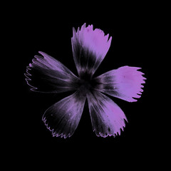 Dianthus spec. (flowerplant) Tags: flower blume blüte staude