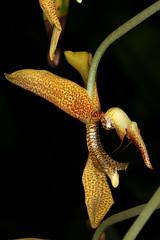 Gongora gratulabunda 2019-10-06 02 (JVinOZ) Tags: orchid orchidspecies gongora