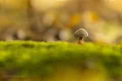 Autumn Mushroom (PeterBrooksPhotography) Tags: 200500 abbotswood autumn d500 eastsussex eastbourne fungi morninglight mushroom nikon peterbrooksphotography season sun sussex uk forest habitat moss trees ©peterbrooks