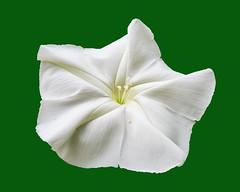 Ipomoea alba L. Convolvulaceae- moonflower, tropical white morning-glory, ชมจันทร์ (SierraSunrise) Tags: plants flowers white ipomoea convolvulaceae thailand isaan esarn nongkhai phonphisai