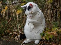 Biełka - nasz trzeci kot // Bielka our third cat (stempel*) Tags: polska poland polen polonia gambezia pentax k30 cat gato kot biełka bielka sade budy