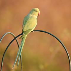 Parakeet In The Early Morning Sun (rq uk) Tags: rquk nikon d750 52weeksthe2019edition dintonpastures ronshide sunrise nikond750 tamronspaf150600mmf563divcusd parakeet