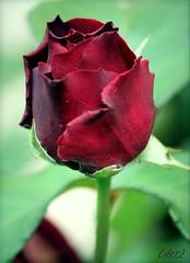 rosso porpora (erman_53fotoclik) Tags: fiore rosa rossa rosso porpora petali bocciolo foglie canon eos 500d erman53fotoclik flora