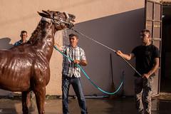 Men bathing an anxious racing horse (Ivan Radic) Tags: 56ljubiäevskekonjiäkeigare 56ljubiäevskiekonjiäkeigare canoneosm50 dusche horseriders ljubiäevskekonjiäkeigre2019 pferd pferderennen pozarevac reiter rennpferd rider serbia serbien srbija veranstaltung baden bath event flags horse horseracing ivanradic racehorse waschen wash washing sigma 2470mm f28 dg os hsm art sigma2470mmf28dgoshsmart 56ljubičevskekonjičkeigare 56ljubičevskiekonjičkeigare ljubičevskekonjičkeigre2019
