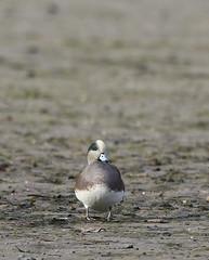 American Wigeon 2 (rdspalm) Tags: duck ducks wigeon americanwigeon birds birdwatching birding nikond850