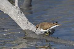 chevalier guignette / Actitis hypoleucos 19E_2694o (Bernard Fabbro) Tags: common sandpiper chevalier guignette oiseau bird
