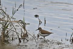 chevalier guignette / Actitis hypoleucos 19E_2590 (Bernard Fabbro) Tags: common sandpiper chevalier guignette oiseau bird