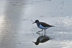 chevalier guignette / Actitis hypoleucos19E_0508 (Bernard Fabbro) Tags: common sandpiper chevalier guignette oiseau bird