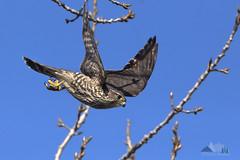 Merlin Dive (dhfore) Tags: merlin falcocolumbarius falcon 2019 nature birds connecticut ct