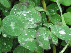 IMG_8833 (jesust793) Tags: flores flowers gotas droops agua water lluvia rain