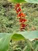 Hedychium gardnerianum Sheppard ex Ker Gawl. -  Yellow Ginger-Lily (Peter M Greenwood) Tags: hedychiumgardnerianum yellowgingerlily hedychium gardnerianum yellow gingerlily