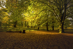 Light & shadow (Steve M Photography) Tags: richmondpark autumn fall seasons colours parkland outdoors countryside light nature trees leaves shadows england
