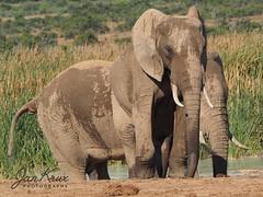 The Tall Ones (Jan-Krux Photography - thx for 5Mio+ views) Tags: loxodonta africaelephant afrikanischerelefant elaphant elefant tier animal addo elephantpark addonationalpark national park natur nature mammal easterncape ostkap southafrica suedafrika afrika africa travel reisen safari adventure abenteuer olympus omd em1mkii em12 olympus40150mmf28 mc14 wildlife tierwelt fauna