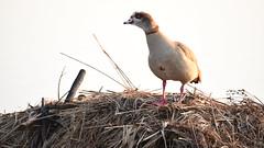 Egyptian Goose, On Mound Of Cut Reeds (rq uk) Tags: rquk nikon d750 52weeksthe2019edition dintonpastures ronshide nikond750 tamronspaf150600mmf563divcusd egyptian goose