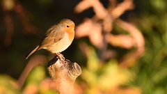 Robin In The Sunlight (rq uk) Tags: rquk nikon d750 52weeksthe2019edition dintonpastures ronshide nikond750 tamronspaf150600mmf563divcusd robin