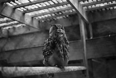 An indignant owl (mkk707) Tags: film 35mmfilm analog manualfocuslens rangefinder leicam3 summicronm50mmdr ilfordfp4 wwwmeinfilmlabde bokeh vintagelens vintagefilmcamera itsaleica blackwhite