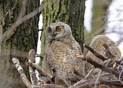 Great Horned Owlets...#3 (Guy Lichter Photography - 5.3M views Thank you) Tags: canon 5d3 canada manitoba winnipeg wildlife animal animals bird birds owl owls greathornedowl owlet