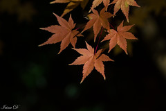 The leaves are changing; I feel poetry in the air. (Irina1010) Tags: mapleleaf foliage maples trees autumn colors season beautiful nature canon coth5